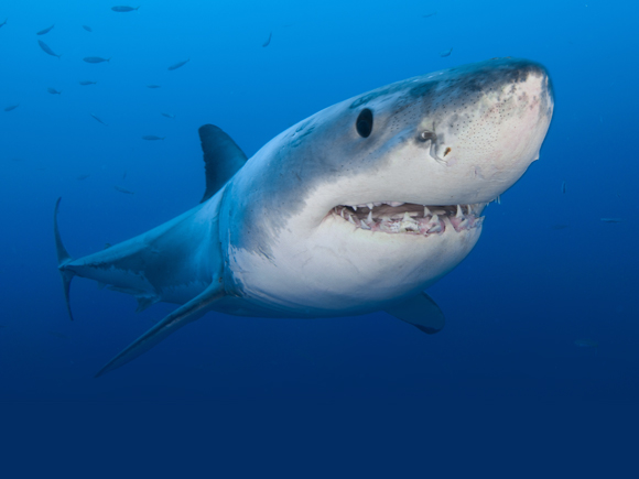 Copyright Grant Henderson - The Shark Trust - Great White Shark
